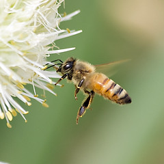 Honeybee in Flight (Johnnie Shene Photography(Thanks, 2Million+ Views)) Tags: wild people flower colour macro nature floral animal closeup canon bug insect square lens photography eos rebel living fly flying spring still flora focus scenery kiss view natural image zoom outdoor no wildlife side flight scenic sigma tranquility scene apo depthoffield full bee theme modified midair magnified 70300mm length parallel leek honeybee tranquil adjustment leeks freshness dg stationary foreground t3i x5 organism hymenoptera behaviour 비행 fragility hymenopteran 600d f456 벌 꿀벌 날개 공중 날개짓