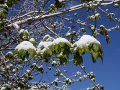 Contre-attaque. (Grand-Papp, charrette...) Tags: snow ice nieve neige hielo auvergne glace massifcentral hauteloire margeride hautesterres lobe marjarida nu