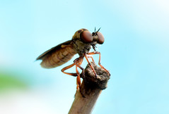 2015 compund eyes 3-8 (Pete King's Photography) Tags: compound eyes flies