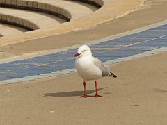 P1080695-seagull Coogee Beach-A (elisabethgleave) Tags: birds sydney silvergull
