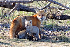 Foxes (Lois McNaught) Tags: nature animal spring wildlife fox kit foxes foxcubs babyfoxes foxpups foxkits barrieontariocanada