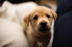 Mia (jorgegonzalezgl) Tags: dog home animal puppy labrador playful