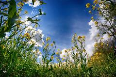 2016.04.30 Wimborne (204) (Kotatsu Neko 808) Tags: uk flowers blue england yellow bluesky fisheye dorset wimborne rapeseed pamphill samyang8mm