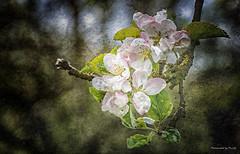 Kirschblüte - Cherry Blossom (Pana53) Tags: outside nikon outdoor pflanze cherryblossom blüte baum textured bluete kirschblüte kirschbluete zweig textur naturfotografie naturfoto blütenstand pana53 naturundlandschaftsfotografie naturportrait photographedbypana53 texturedbypana53
