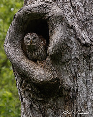 Barred Owl (Alfred J. Lockwood Photography) Tags: morning tree bird nature spring texas nest wildlife owl barredowl colleyvillenaturecenter alfredjlockwood