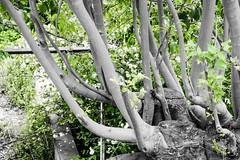 foto 131 (patrivivesm) Tags: blackandwhite naturaleza tree verde green byn blancoynegro nature monochrome arbol outdoors monocromo nikon exterior branches shapes 365 formas bandw selectivecolour ramas 365project nikonist nikonista proyecto365