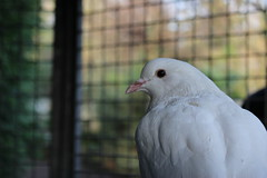 Pigeon (Brendaurus) Tags: bird pigeon dove vogel duif fantail squab