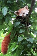 Petit panda (Passion Animaux & Photos) Tags: france zoo panda redpanda petit ailurus fulgens asson