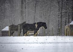 Tasting the Snow (Daveyal_photostream) Tags: trees winter horses horse snow nature animals landscape nikon outdoor serene snowing snowscene winterscene d600 nikor threehorses awesomeshots mygearandme meandmygear