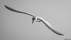 Beauty in B&W (hardikboda) Tags: blackandwhite bw bird monochrome flying wings outdoor flight diagonal maharashtra minimalism bhigwan birdphotography brownheadedgull