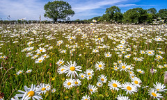 Daisies (alans2200) Tags: