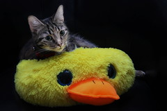 The cat on the duck (mru24) Tags: animal cat canon photography duck furniture relaxing lazy doncaster 40d