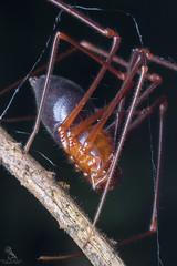 Ant Spider (Abhishek T) Tags: macro spider wildlife ant bugs