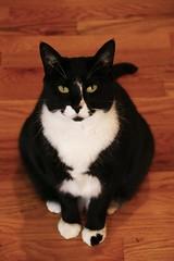 IMG_7193 (SweetMeow) Tags: cats tuxedocats shelterisland