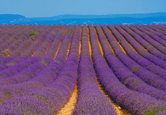 Picture perfect memories (marypink) Tags: flowers summer france estate campo lavander provence fiori francia fiel provenza lavanda valensole 70300mmf4056 nikond7200