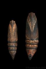 Small vs. big Elephant Hawk-moth (Franziska Bauer) Tags: lepidoptera sphingidae pupa puppe schmetterling metamorphose deilephilaporcellus nachtfalter schwrmer deilephilaelpenor kleinerweinschwrmer weinschwrmer deilephila schmetterlingspuppe