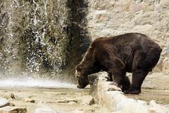 _DSC9438 (alfaluis) Tags: animal zoo pato jardim macaco tigre urso zoologico