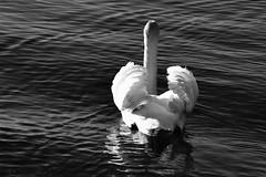Capturer la lumire (Diegojack) Tags: nikon lumire contrejour cygnes oiseaux paix noirblanc d7200