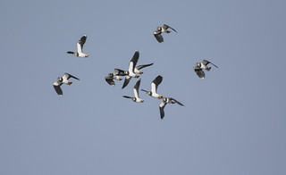 Lapwings in flight ~ Explored