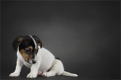 Innocense 2   6 (Marijke M2011) Tags: pet animal puppy studio indoor hond terrier jackrussell huisdier littledog petportrait dogportrait onschuld studiolightning reutje hondenportret