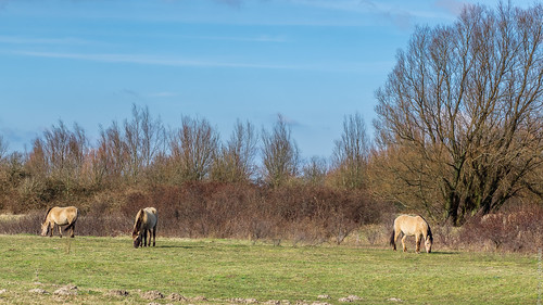 Konikpaarden - Landtong Rozenburg - Port of Rotterdam