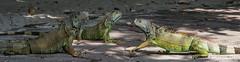 2015 - MEXICO - Zihuatanejo - 2 on 1 (Ted's photos - For Me & You) Tags: feet animal mexico three nikon outdoor head wildlife wideangle iguana heads cropped trio vignetting zihuatanejo tails tedmcgrath tedsphotos nikonfx zihuatanejoguerrero tedsphotosmexico d600fx nikond750 zihuatanejo2015