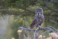 Great Gray Owl (Gregory Lis) Tags: britishcolumbia kamloops greatgrayowl strixnebulosa nikond800 gorylis gregorylis