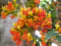 starr-120606-9533-Castanospermum_australe-flowers-Kahanu_Gardens_Hana-Maui (Starr Environmental) Tags: castanospermumaustrale