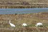 Follow the Leader (ChefeGrande) Tags: bird texas feeding marsh seashore texasstatepark whoopingcrane wintermigration protectedspecie