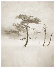 Winter trees II (Georg Engh) Tags: winter vinter infrared textured infrard landscapesshotinportraitformat topstad