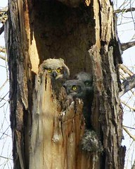 3-baby-owls (Zomarieful) Tags: june