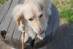 IMG_0515 (yukichinoko) Tags: dog dachshund 犬 kinako ダックスフント ダックスフンド きなこ