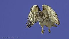 Red-tailed Hawk takes flight IMG_8154 (ronzigler) Tags: bird nature canon hawk flight sigma raptor redtailed avian birdwatcher 150600mm