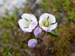 Gentianella flower (dracophylla) Tags: tasmania plantae gentianaceae gentianella gentianales taxonomy:kingdom=plantae mtread taxonomy:family=gentianaceae taxonomy:order=gentianales taxonomy:genus=gentianella