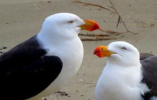 Pacific Gulls - Larus pacificus