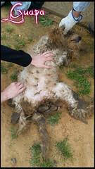 Guapa 3 (santuariolacandela) Tags: españa spain guapa animalsanctuary femaledog adoption mestiza hembra fosterhome acogida adopción cabezalavaca santuariolacandela