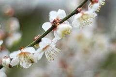P1010414 at f/1.4 (Keishi Etoh rough-and-ready photoglaph) Tags: flower lumix cosina panasonic voigtlnder 70mm gx7 microfourthirds voigtlndernoktonclassic35mmf14sc  dmcgx7 panasoniclumixgx7 panasonicdmcgx7