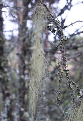 Unpolluted 2 (pvanhala) Tags: forest sensitive air lichen wilderness usnea unpolluted