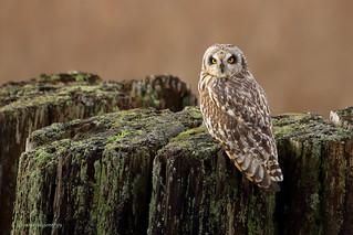 Short-eared Owl - Hibou des marais