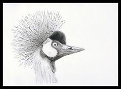 Grey crowned crane / uraw koroniasty (Karwik) Tags: bird pencil pencils grey zoo crane drawing crowned ptak owek rysunek zuraw uraw olowek batw baltow koroniasty koronnik