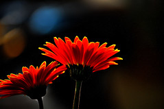 DSC_0046_046 Gerbera and sunlight (tsuping.liu) Tags: flower nature blackbackground outdoor blooming deptoffield naturesfinest darkbackground natureselegantshots