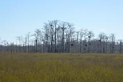 DSC_0007 (ACEZandEIGHTZ) Tags: trees nature field grass landscape nikon outdoor everglades hazy bigcypress nationalpreserve looproad d3200