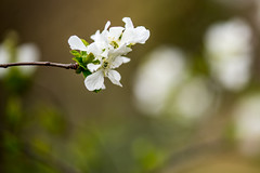 (shinichiro*_back) Tags: flower macro japan march spring jp  kanagawa crazyshin  plumblossoms 2016      makroplanart2100zf nikond4s 20160318ds27975