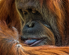 Finger Licking Good (Robert Streithorst) Tags: up close headshot cincinnatizoo simplysuperb zoosofnorthamerica robertstreithorst