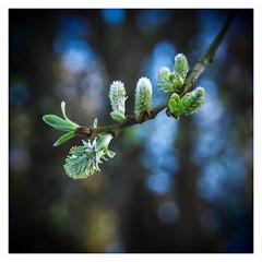 Vem a a Primavera / Spring is coming (Francisco (PortoPortugal)) Tags: primavera portugal square spring porto quadrada franciscooliveira portografiaassociaofotogrficadoporto 0482016 20160311fpbo27182