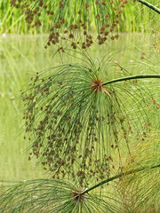 P1070363-papyrus on pond-Mel-A (elisabethgleave) Tags: park flowers melbourne papyrus