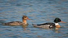 Wetheads (jmishefske) Tags: swimming march pond nikon couple ducks drake hen redbreasted mccarty merganser 2016 d800e
