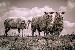 My models for today........ (Anneke Jager) Tags: animal animals sheep outdoor planet dieren sheeps animalplanet schapen schaap annekejager