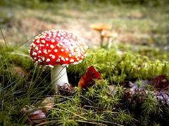 Natur 03 (s-h-design) Tags: mushroom fly wiese wald agaric pilz fliegenpilz forst