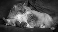 Oban The Terrible (Bert CR) Tags: boss blackandwhite bw rescue pet animal cat blackwhite affection terrible bully darkside rescuecat intimidation skancheli obantheterrible